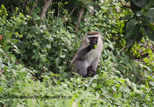 Vervet Monkey (Chlorocebus pygerythrus rufoviridis)