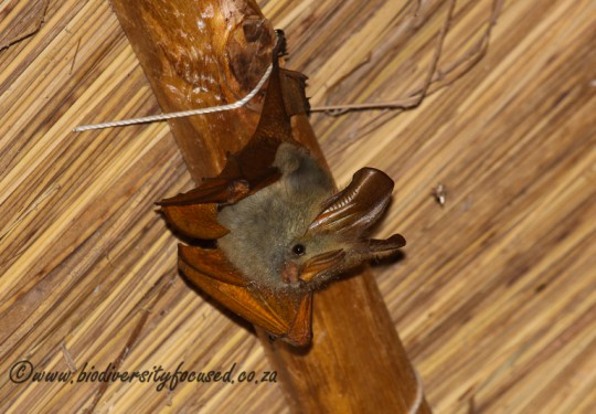 Yellow-winged Bat (Lavia frons affinis)