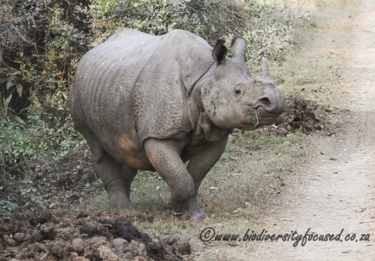 Greater One-horned Rhinoceros (Rhinoceros unicornis)
