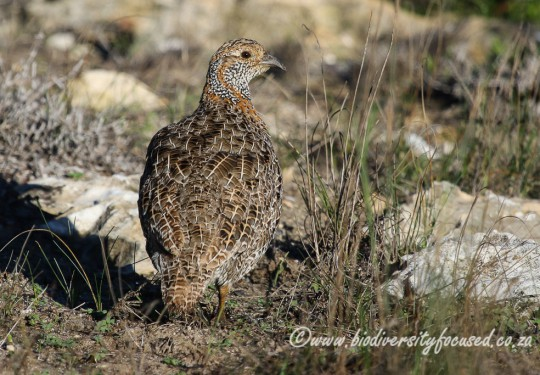 Grey-winged Francolin (Scleroptila africanus)