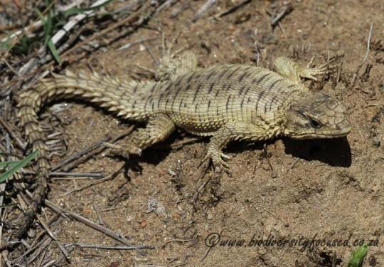 Jordans Girdled Lizard (Cordylus jordani)