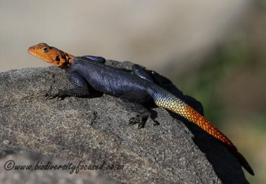 Namibian Rock Agama (Agama planiceps) - Male