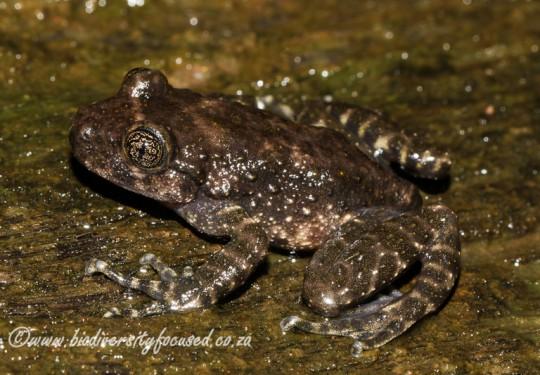 Natal Cascade Frog (Hadromophryne natalensis)