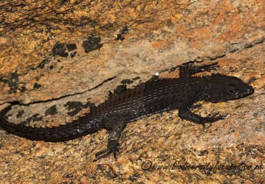 Peers Girdled Lizard (Cordylus peersi)