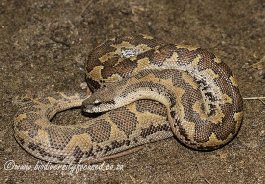 Russells Earth Boa (Eryx conicus)