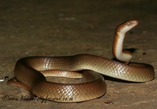 Swazi Rock Snake (Inyoka swazicus)