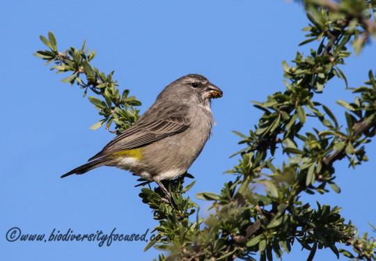 White-throated Canary (Serinus albogularis)