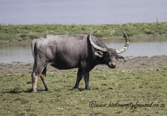 Asiatic Wild Buffalo (Bubalus arnee)