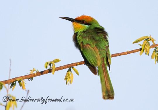 Bohms Bee-eater (Merops boehmi)