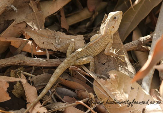 Common Garden Lizard (Calotes versicolor)