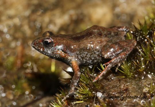 De Villiers Moss Frog (Artroleptella villiersi)