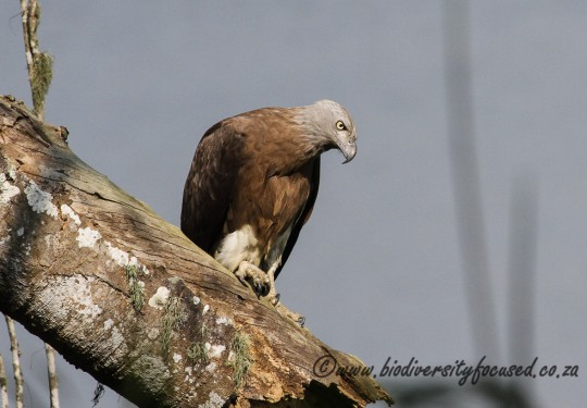 Grey-headed Fish Eagle (Icthyophaga ichthyaetus)