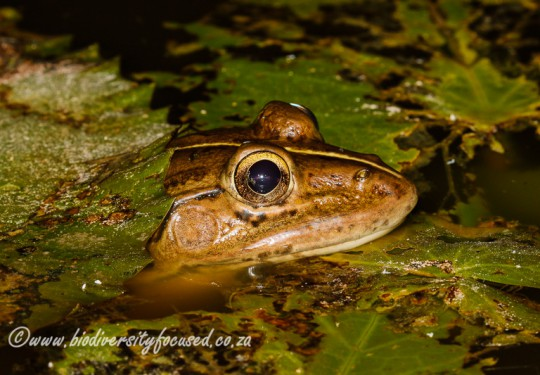 Indian Bull Frog (Hoplobatrachus tigerinus)