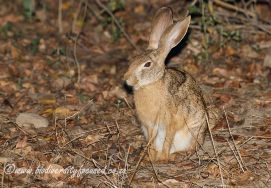 Indian Hare (Lepus nigricollis)