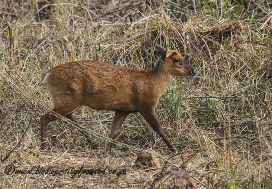 Indian Muntjac (Muntiacus muntjak)
