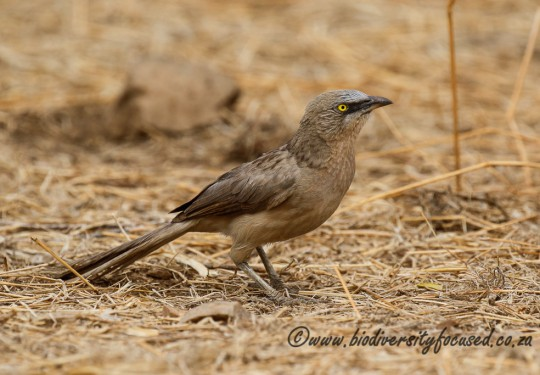 Large Grey Babbler (Turdoides earlei)