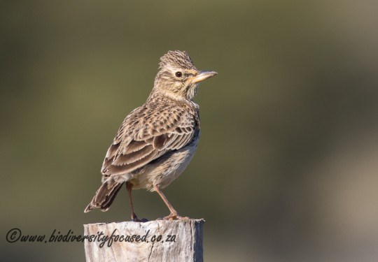 Large-billed Lark (Galerida magnirostris)