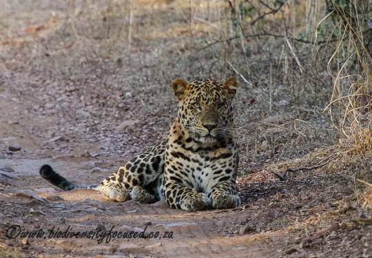Leopard (Panthera pardus fusca)