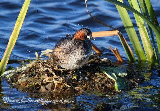 Little Grebe (Tachybaptus ruficollis) on nest