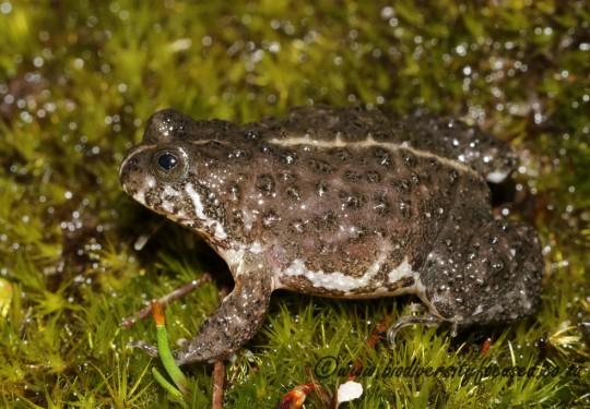 Montane Marsh Frog (Poyntonia paludicola)