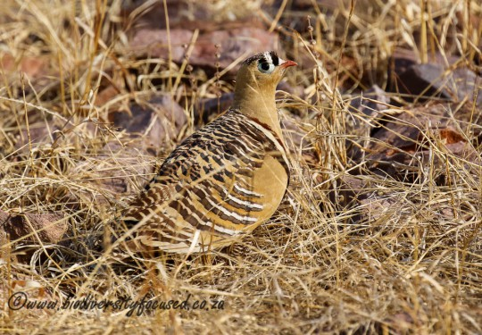 Painted Sandgrouse (Pterocles indicus)