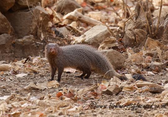 Ruddy Mongoose (Herpestes smithii)