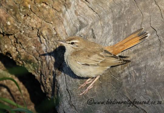 Rufous-tailed Scrub-robin (Erythropygia galactotes)