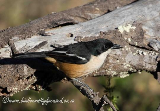 Southern Boubou (Laniarius ferrugineus)
