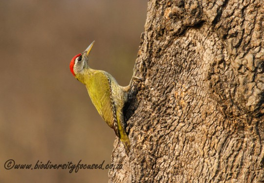 Streak-throated Woodpecker (Picus xanthopygaeus)