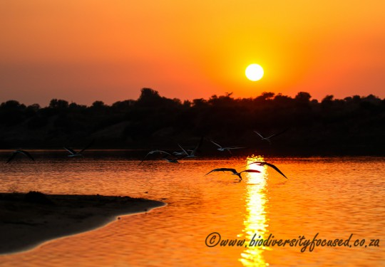 Sunset on Chambal River with Indian Skimmers