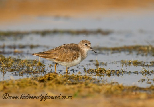 Temmincks Stint (Calidris temminckii)