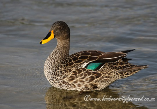 Yellow-billed Duck (Anas undulata)