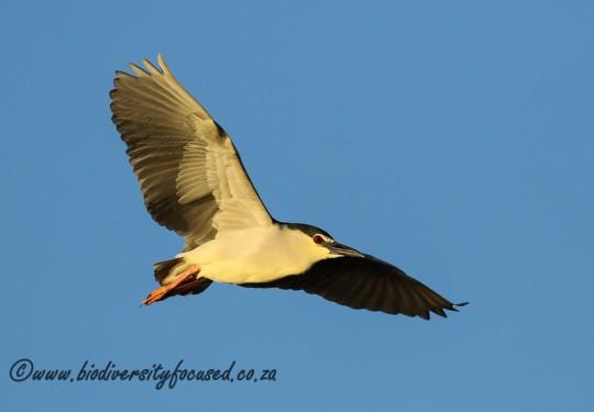 Black-crowned Night-heron (Nycticorax nycticorax)