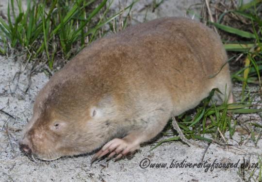 Cape Dune Mole-rat (Bathyergus suillus)