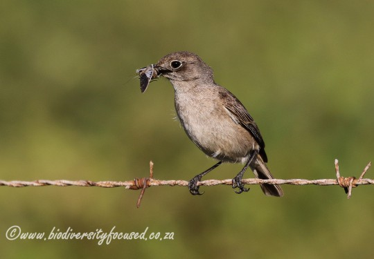 Sickle-winged Chat (Cercomela sinuata)