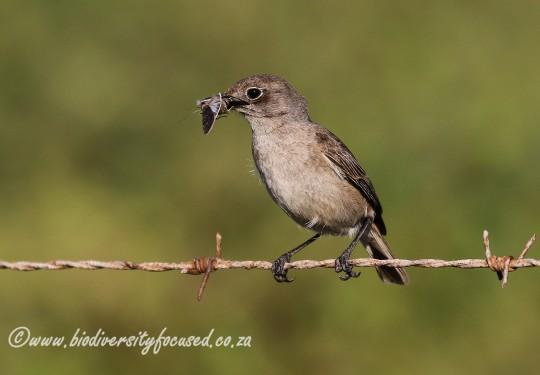 Sickle-winged Chat (Cercomela sinuata)