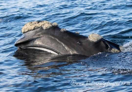 Southern Right Whale (Eubalaena australis)