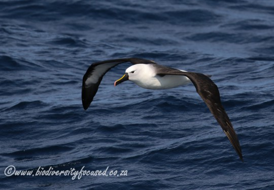 Indian Yellow-nosed Albatross (Thalassarche cateri)