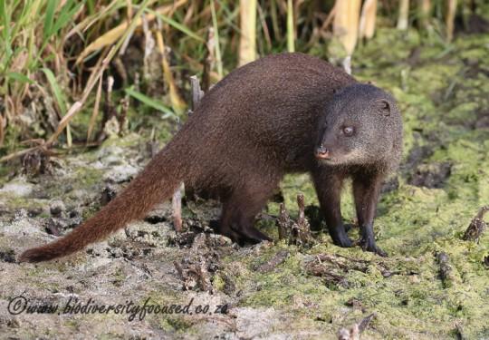 Water Mongoose (Atilax paludinosus)