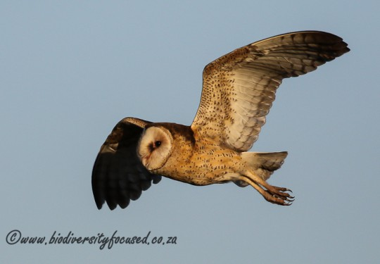 African Grass-owl (Tyto capensis)