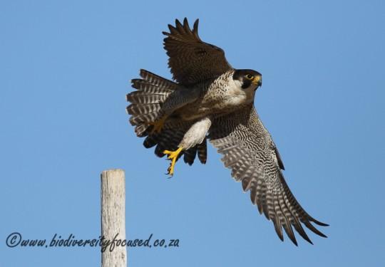 Peregrine Falcon (Falco pereginus)