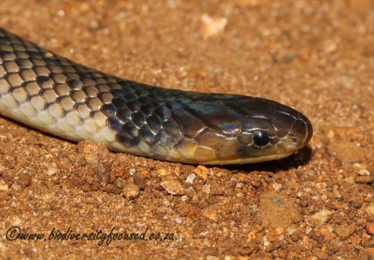 Reticulated Centipede-eater (Aparallactus lunulatus)