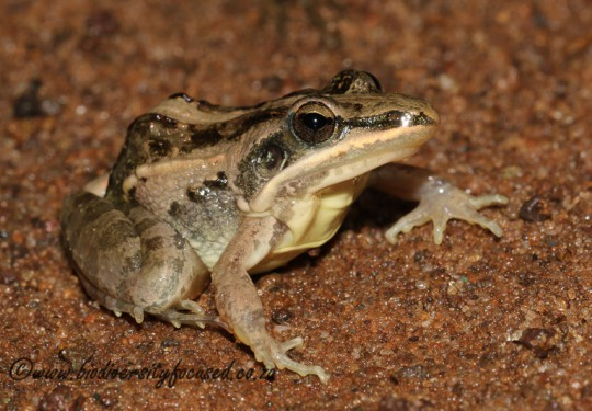 Broad-banded Grass Frog (Ptychadena mossambica)