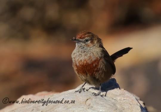 Cinnamon-breasted Warbler (Euryptila subcinnamomea)