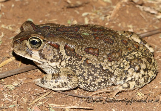 Eastern Olive Toad (Sclerophrys garmani)