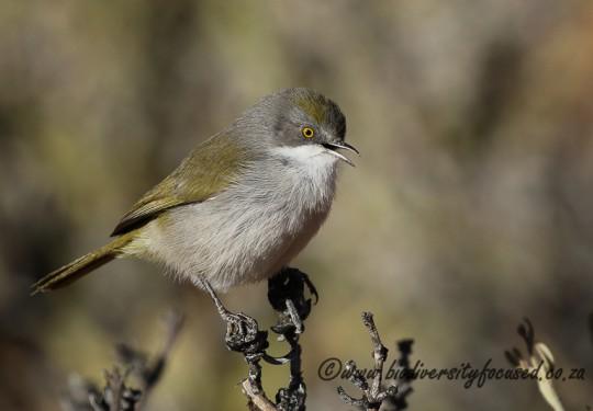 Karoo Eremomela (Eremomela gregalis)