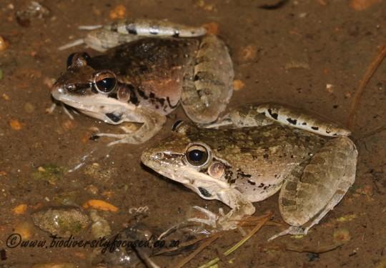 Plain Grass Frog (Ptychadena anchietae)