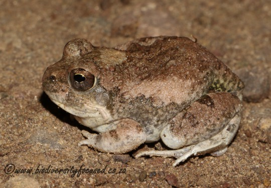 Russet-backed Sand Frog (Tomopterna marmorata)