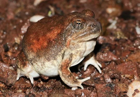 Russet-backed Sand Frog (Tomopterna marmorata)
