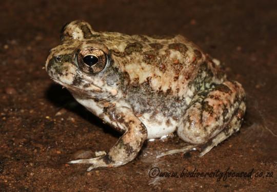 Tremolo Sand Frog (Tomopterna cryptotis)